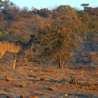 Tuli Block - Kudi and Giraffe in background