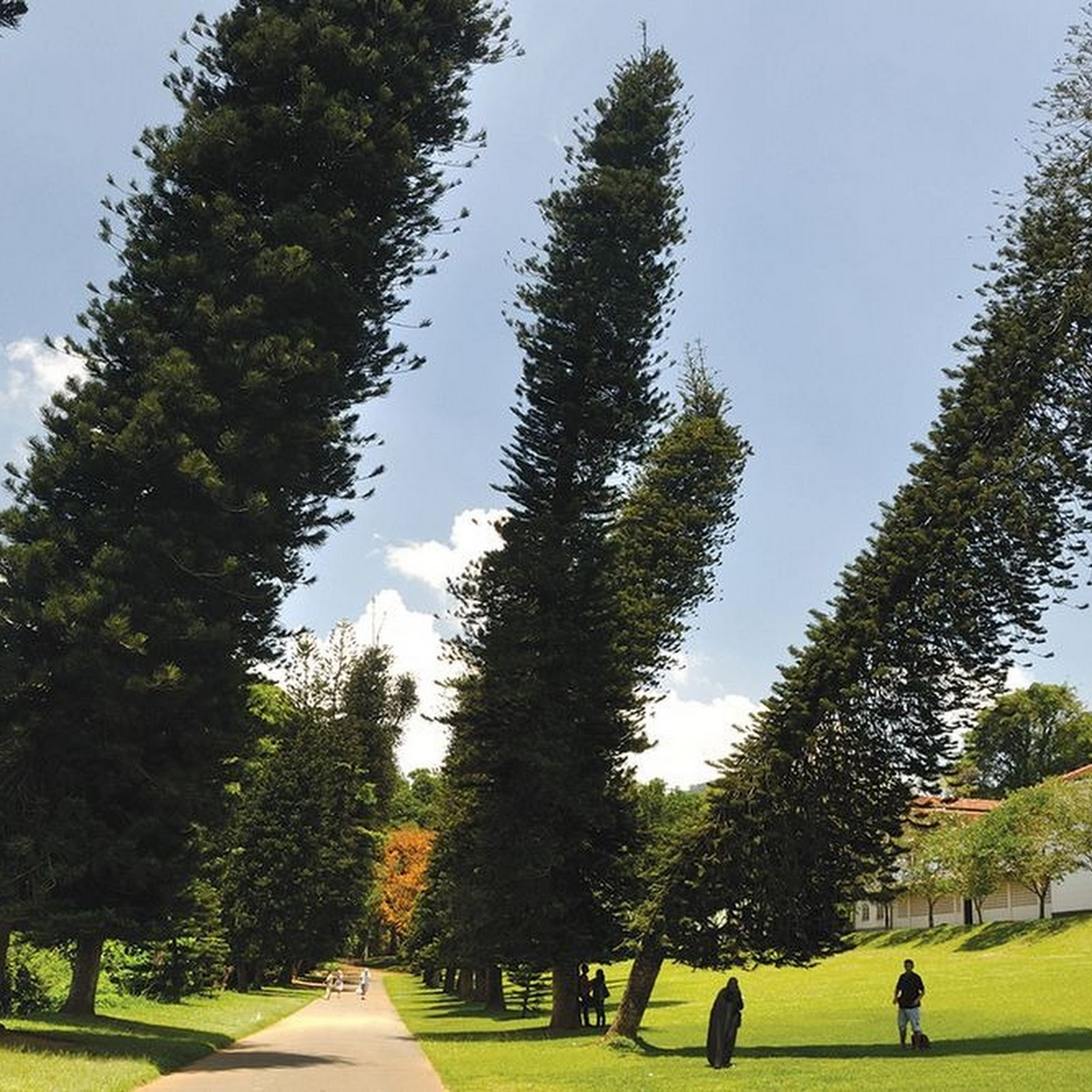 The Pines That Lean Towards The Equator