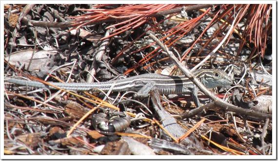 Florida Scrub Lizard Reptile