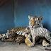 Havana Zoo Tampilkan Harimau Putih Langka
