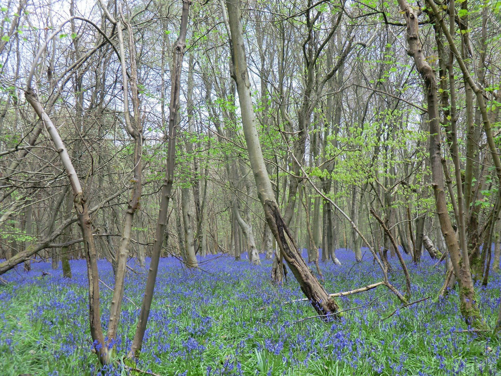 CIMG0750 Bluebells in Forge Wood