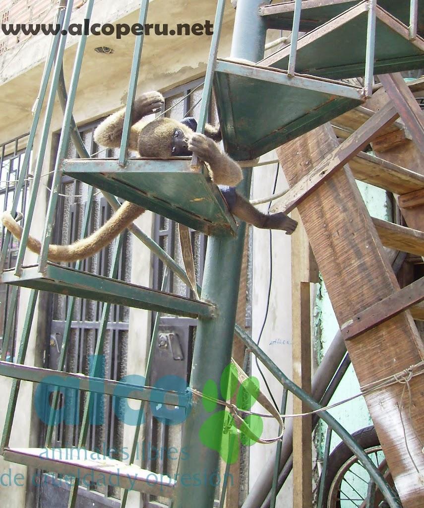 Mono Lanudo plateado amarrado (4)