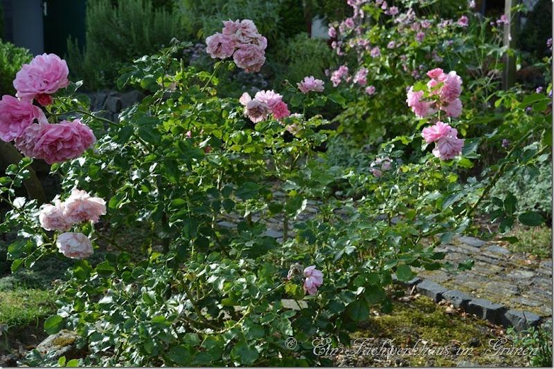Strauchrose Uetersens Rosenprinzessin. Diese Rose ist wirklich eine Prinzessin.