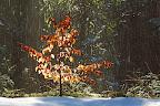 TOMBE LA PLUIE   Les rayons du soleil font fondre la neige retenue par les branches des arbres...