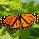Male Monarch - note black spots on hind wings