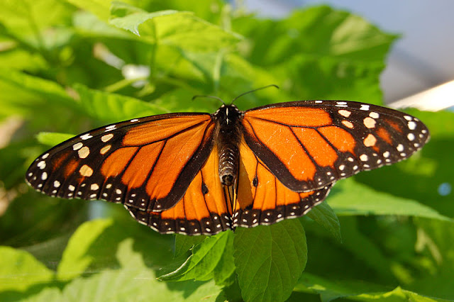 Male Monarch - note black spots on hind wings