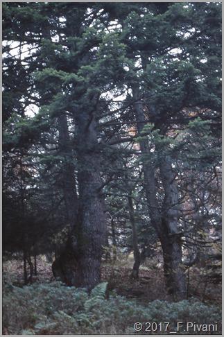 abeti bianchi - tronco