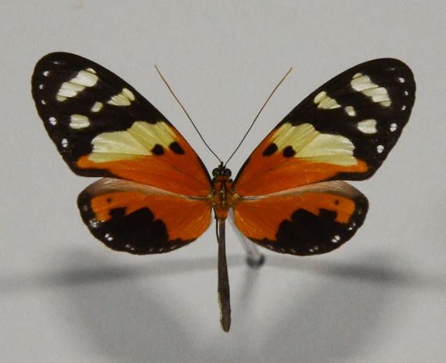 Melinaea ludovica ludovica, CRAMER, (1780). Crique Tortue (4°10'38'' N/52°23'54''O), près de Saut Athanase (Guyane). 20 novembre 2011. Photo : C. Basset