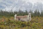 REPÉRÉ ! Ce jeune caribou à la queue dressée est en alerte !