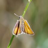 Thymelicus lineola (Ochsenheimer, 1808). Les Hautes-Courennes (500 m), Saint-Martin-de-Castillon (Vaucluse), 18 juin 2015. Photo : J.-M. Gayman