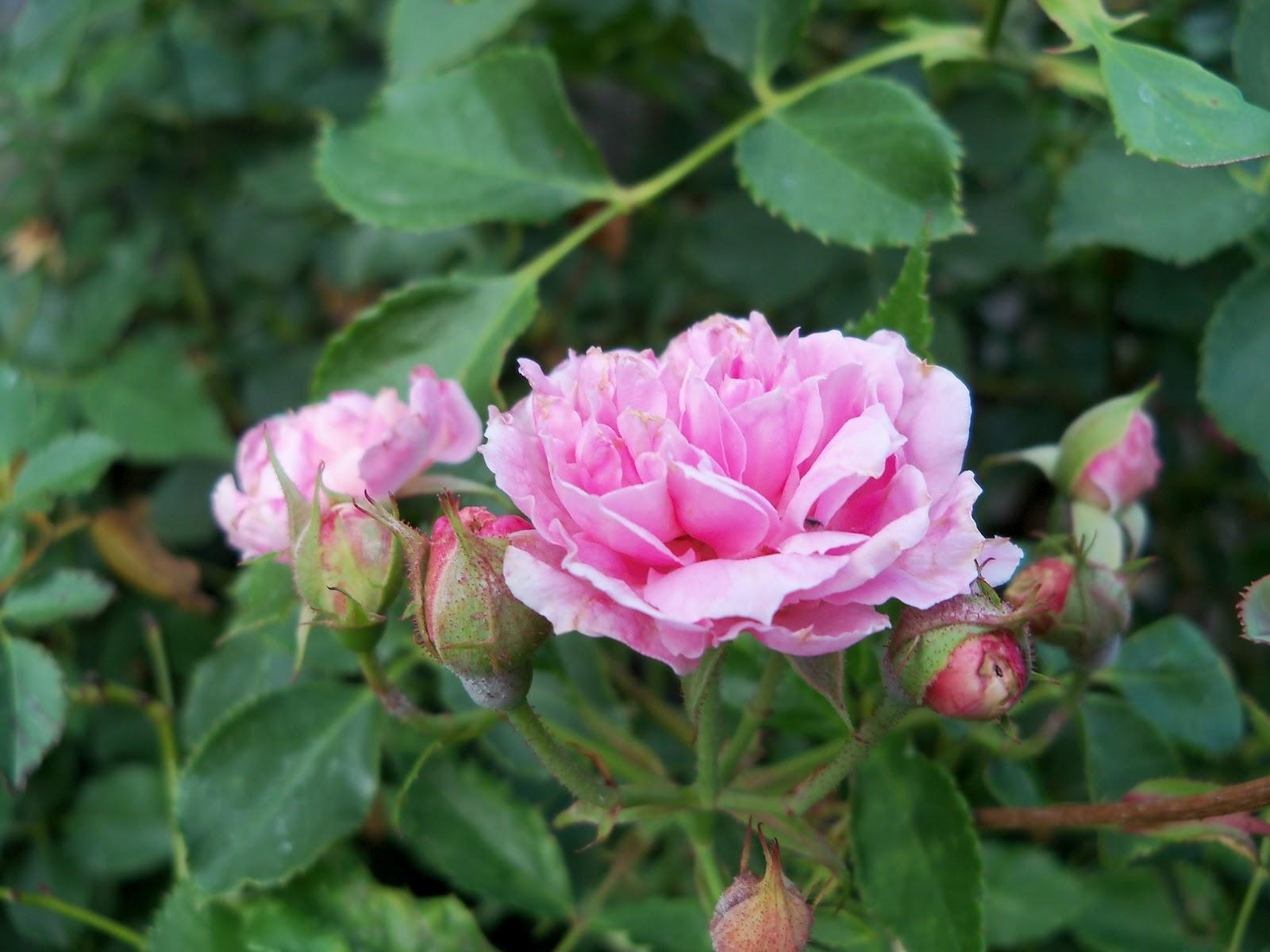 Gardening 2011 - 100_8876.JPG
