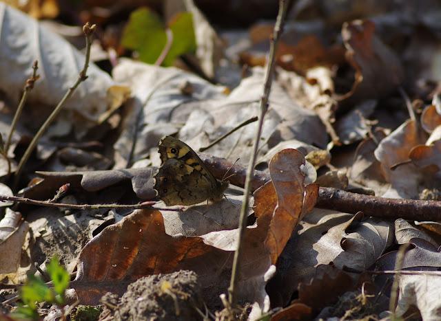 Pararge aegeria LINNAEUS, 1758. Hautes-Lisières (Rouvres, 28), 25 mars 2012. Photo : J.-M. Gayman