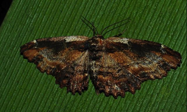 Geometridae : Ennominae : Boarmiini : Pholodes sinistraria GUENÉE, 1857, femelle. Umina Beach (N. S. W., Australie), 1er janvier 2012. Photo : Barbara Kedzierski