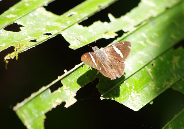 Hesperiidae : Autochton neis (GEYER, 1832). Crique Fillon (sentier 2), Carbets de Coralie, 1er novembre 2012. Photo : J.-M. Gayman