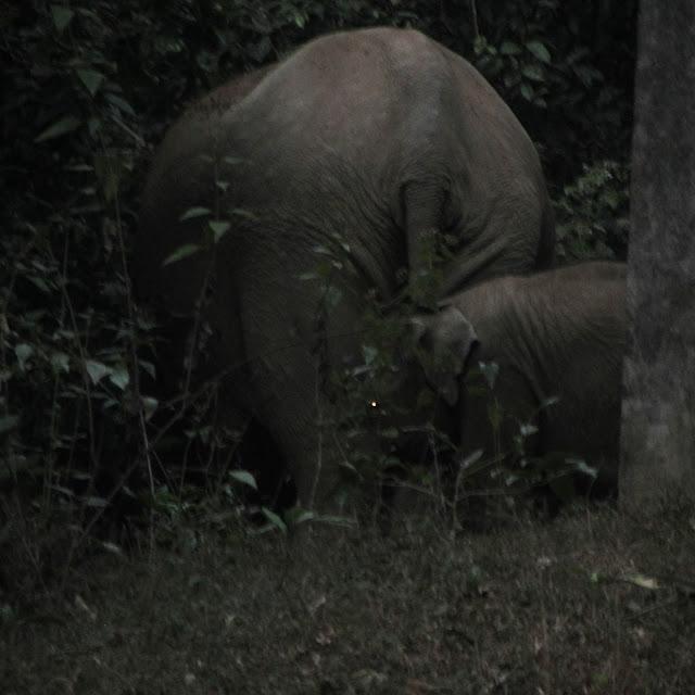 Elephants, Thirunelly (Wayanad), India