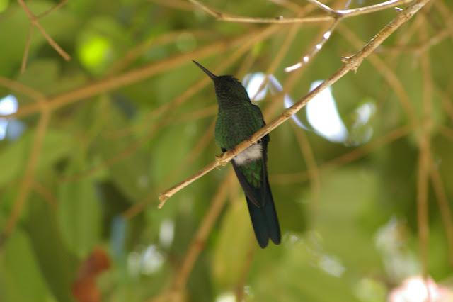 Colibri. Pulso (Ubatuba, SP), 12 février 2011. Photo : J.-M. Gayman