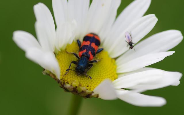 Cleridae : Trichodes alvearius FABRICIUS, 1792. Les Hautes-Lisières (Rouvres, 28), 22 mai 2012. Photo : J.-M. Gayman