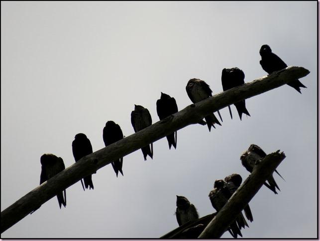 treeswallowIMG_0666