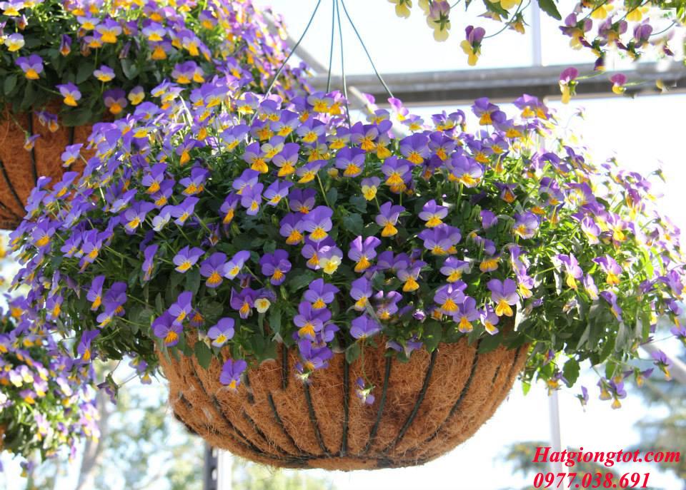 Hạt giống hoa viola rũ