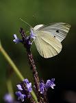 Lille kålsommerfugl, Pieris rapae2.jpg