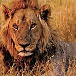 Africa 2008 Lion 2.jpg
