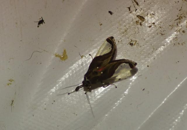 Arctiinae : Phaegopterini :  Bertholdia sp. (B. albipuncta Schaus, 1896 ?). Mount Totumas, 1900 m (Chiriquí, Panamá), 23 octobre 2014. Photo : J.-M. Gayman