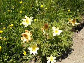 anemone soufree Pulsatilla alpina Renonculacees 3.JPG