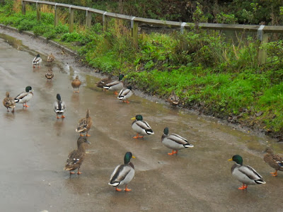 Ducks in road