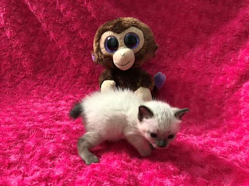 Available Kitten