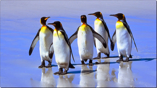 Five King Penguins, Falkland Islands.jpg