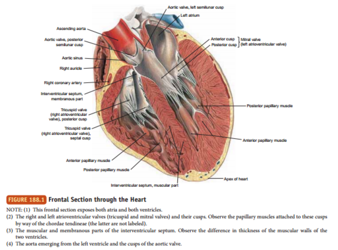 Tekanan darah pada tubuh manusia, cara mengukur tekanan darah, nilai tekanan darah normal dalam satuan (mm Hg), dan faktor yang mempertahankan tekanan darah.