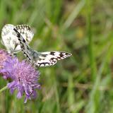 Melanargia galathea LINNAEUS, 1758. Les Hautes-Lisières (Rouvres, 28), 14 juin 2011. Photo : J.-M. Gayman