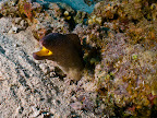 Yellowmouth moray (Gymnothorax nudivomer)