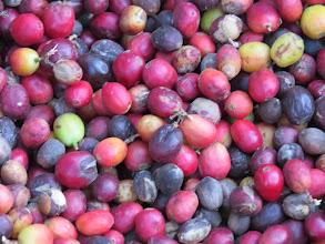 Photo: coffee, called grano de oro, or the grain of gold.