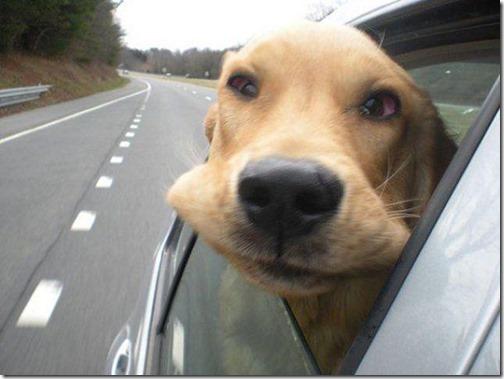 perros asomads a la ventanilla del coche (1)