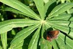 Erebia eriphyle.3.jpg