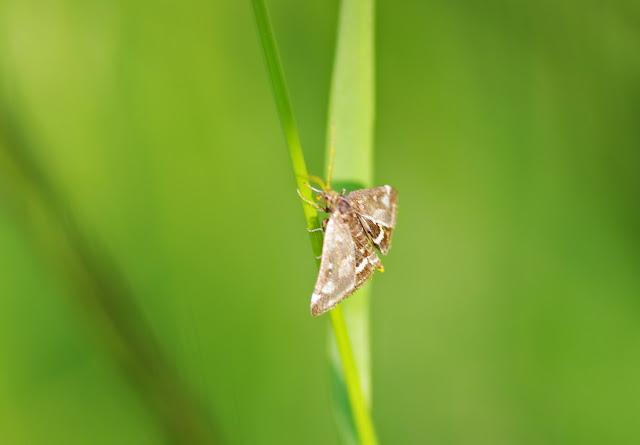 Crambidae : Pyraustinae : Pyrausta purpuralis (L., 1758), spécimen âgé. Les Hautes-Lisières (Rouvres, 28), 10 juin 2013. Photo : J.-M. Gayman