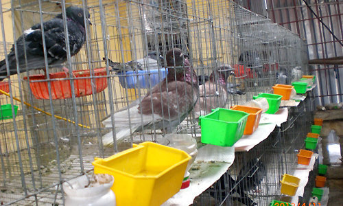 Chuồng nuôi chim bồ câu A4 01