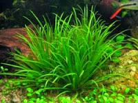 Cỏ Nhật (Blyxa japonica)
