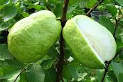 manfaat buah jambu biji untuk kesehatan
