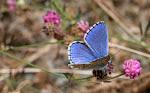 Adonisblåfugl, Lysandra bellargus.jpg