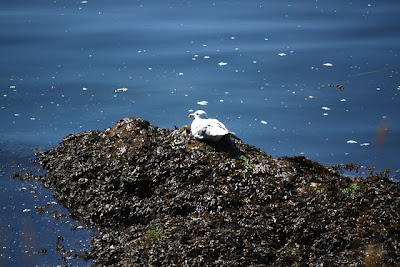 Seagull on Salt Spring Island in Canada