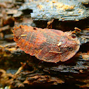 Dried leaf cockroach