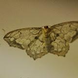Hydatoscia ategua Druce 1892, face ventrale. Mount Totumas, 1900 m (Chiriquí, Panamá), 20 octobre 2014. Photo : J.-M. Gayman