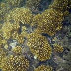 Corales en la Ensenada de Utría