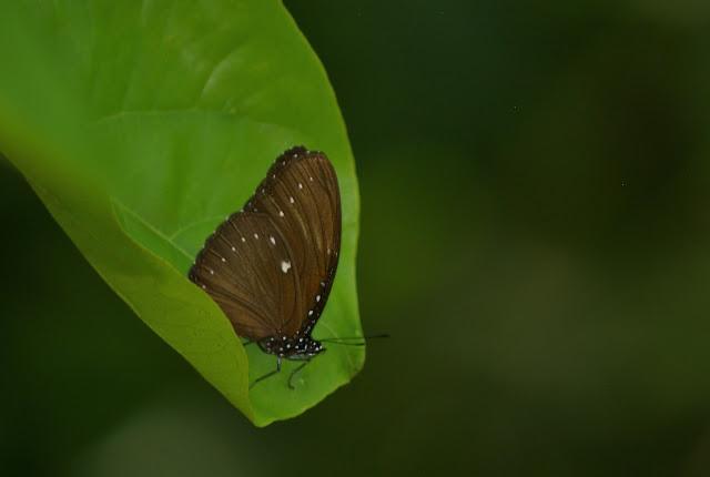 Euploea tulliolus aristotelis MOORE, 1883 (?). Gomantong, 14 août 2011. Photo : J.-M. Gayman