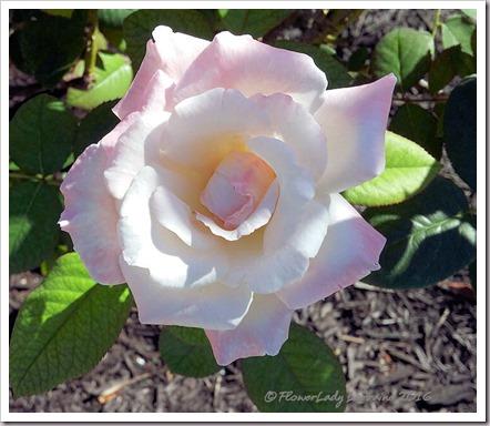 10-22-rose3