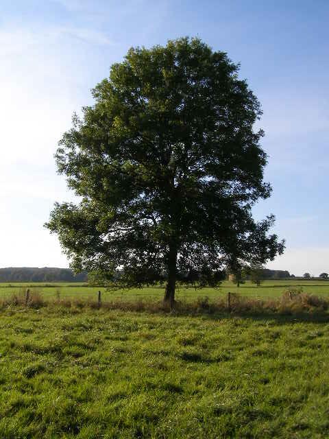 파일:external/upload.wikimedia.org/Ash_Tree_-_geograph.org.uk_-_590710.jpg