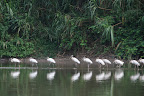 Birds at Cocha Otorongo in Reserve Zone (Manu National Park, Peru)