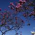 Aplicativo gratuito cria rota dos ipês em Brasília